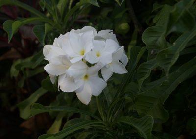 Fleur de frangipane
