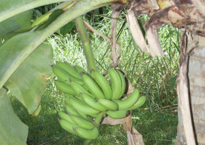 Iracoubo : Régime de bananes